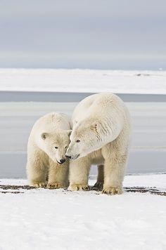 Polar Bear Sow With A 2-year-old Cub Photograph by Steven Kazlowski