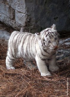 Baby white tiger courtesy of FU Penguin