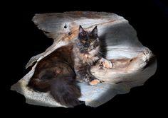 Breeding Queen Maine Coon Cats of Congocoon:  Caracal Creek