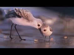 Disney Pixar has unveiled a first look at Piper, their adorable short film featuring a cute little sandpiper bird that will play in front of Finding Dory Disney Pixar, Disney Cartoons, Disney Memes, Disney Cruise, Piper Pixar, Oscar 2017, Pixar Shorts, Finding Dory, Pixar Movies