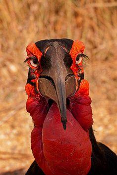 Southern Ground-hornbill (Bucorvus leadbeateri) photographed by David Hammant.