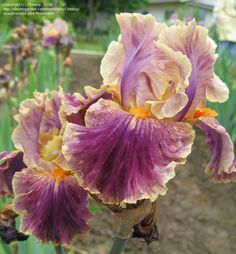 IB Iris germanica 'Spooky' (Keppel, 2007)