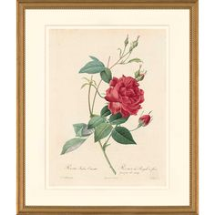 Redouté Oppenheimer Editions Les Roses Pl. 49 Monthly Rose $225–$350  Pierre Joseph Redoute Les Roses  Published by Oppenheimer Editions Artwork includes archival frame as shown. Exterior Dimensions: 20 1/4 x 16 5/8 x 1 inches