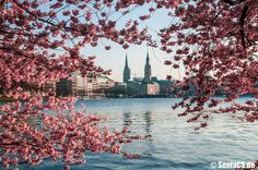 Binnenalster im Frühling Hamburg, Alster, Spring, Cherry blossoms The Places Youll Go, Places To Go, Hamburg Germany, Most Beautiful Cities, Tours, Wallpaper, City, World, Nature