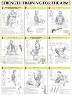 Strength Training for the Arms: Alternate curls rotating the wrists and raising the elbows, hammer curls, preacher curls, underhand barbell curls, standing one-arm dumbbell triceps extensions, triceps extensions on a bench, overhand push-downs, reverse curls, wrist curls ♦ #health #fitness #exercises #routines #arms #diagrams #body #muscles #gym #bodybuilding