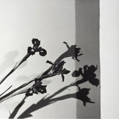 Life on Sundays (zzzze:   Robert Mapplethorpe - Irises, N.Y.C. (Y...)