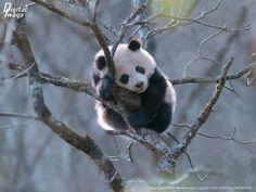 panda on tree