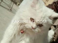 Https Www Pakbreed Com A Grade Pure Persian Female Kitten 1741 Beautiful Cats Buy Pets Breeds