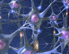 Neurons are electrically excitable cells that process and transmit information. They are the core components of peripheral nerves, the brain, of the spinal cord in vertebrates and the ventral nerve cord in invertebrates.