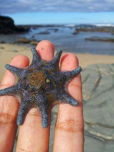 Strayan starfish - Imgur