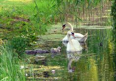 swans by Judy **, via Flickr
