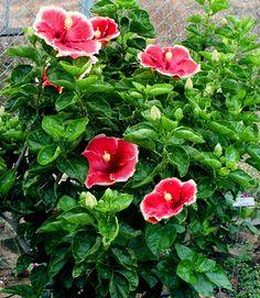 Rose Gardening For Beginners Hibiscus Flower Garden Ideas Hibiscus Tree Care, Hibiscus Rosa-sinensis, Growing Hibiscus, Hibiscus Leaves, Flower Garden Design, Flower Gardening, Buy Plants Online, Easy Garden, Garden Ideas