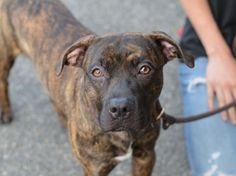 TO BE DESTROYED 07/27/15 RESCUE ONLY! Brooklyn Center My name is HARPUA. My Animal ID # is A1045163. I am a male br brindle and white am pit bull ter. The shelter thinks I am about 1 YEAR I came in the shelter as a STRAY on 07/23/2015 from NY 11373, owner surrender reason stated was STRAY. http://nycdogs.urgentpodr.org/harpua-a1045163/