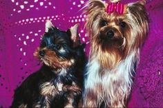 Potty training a Yorkie  This is a challenge for me since I'm use to my big dogs
