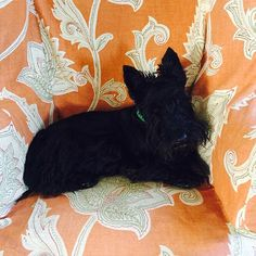 Mr. Duncan wants to snuggle in the big comfy chair! P. Allen Smith I just found out that P. Allen Smith has a scottie!