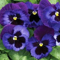 Resultados de la Búsqueda de imágenes de Google de http://imagenes.flordeplanta.com.ar/wp-content/uploads/2011/03/violeta-pensamiento.jpg