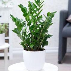 Exótico semillas idea de regalo para habitación decorativo planta andenbeere
