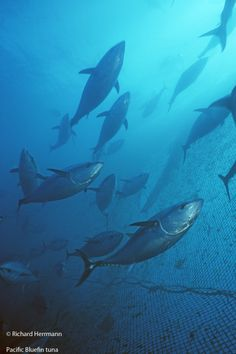 Pacific Bluefin Tuna Population at Brink of Collapse  Amanda Nickson, The Pew Charitable Trusts | July 11, 2014