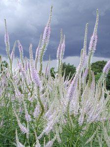 Veronicastrum virginicum 'Lavendelturm' - Kandelaber-Ehrenpreis
