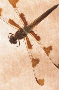 How to Raise Dragonflies