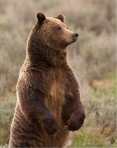 Resultado de imagen de grizzly bear
