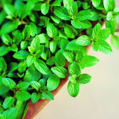 Garden-to-table guide to mint    Tips for growing and caring for mint, plus our favorite recipes come harvest time