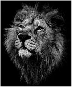Image result for lion head black and grey