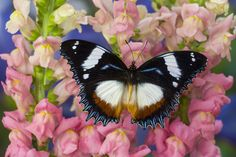 Tropical Butterfly, Hypolimnas dexithea, on pink snapdragons photograph by:  Darrell Gulin