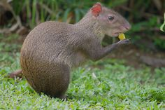 Rodents of South America - The Agouti and the Paca
