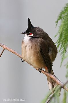 Michigan birds ilene russell peppers russell peppers harrington red whiskered bulbul picnonotus jocosus mainly in tropical asia it perches bird identificationbird publicscrutiny Gallery