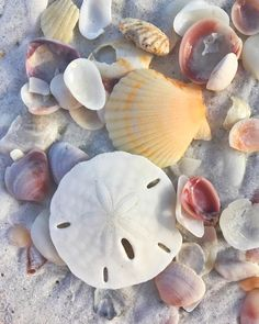 Shells and sand dollar Shell Beach, Ocean Beach, Beach Fun, Shells And Sand, Sea Shells, I Love The Beach, Beach Scenes, Marine Life, Sea Creatures