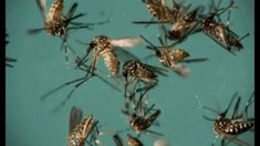 Heads Up! Lab-Bread Mosquitoes to be Released Near Miami