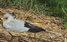 Secretarybird, Pairi Daiza, Belgium, photo A. Kuckartz 22-05-2017 #secretarybird