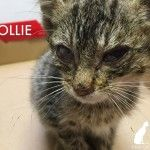 "Ollie was rescued from people who were going to throw the sickly kitten into the street to be ""put out of his misery"" by passing cars."