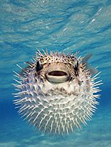 When I was snorkeling in St. Marteen, a puffer fish swam right in front of me.  I want to do this again....