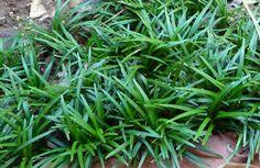 Home Sweet Home Dwarf Mondo Grass (Ophiopogon Japonicus Nanus) Landscape Gardening Tips Landscape ga Grass Texture Seamless, Monkey Grass, Cat Grass, Dwarf Mondo Grass, Grass Alternative, Grass Edging, Grass Pattern, Grass Background, Gardens