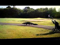 Cocodrilo de cuatro metros se pasea en campo de golf