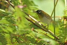 Seram White-eye , Kacamata seram (Zosterops stalkeri)- endemic, -Passeriformes-Zosteropidae