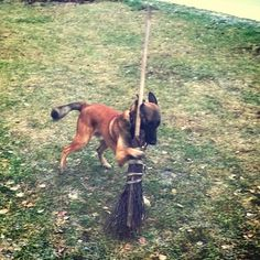 """I'm a wizard, Harry!"" - This Belgian Malinois."