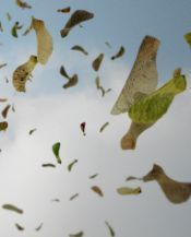 Helicopters (maple tree seeds)