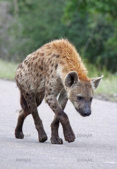Hyäne, Kruger Nationalpark, Südafrika, wildlife