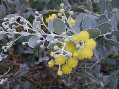 Queensland Silver Wattle, Pearl Acacia (Acacia podalyriifolia) flowers and…
