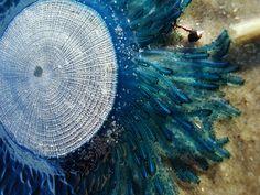 Blue Button Jellyfish Jellyfish Art, Sea World, Dream Catcher, Button, Blue, Animals, Home Decor, Sweet Home, Dreamcatchers