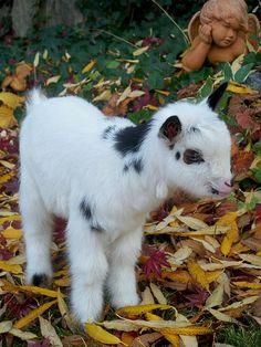 Nigerian Dwarf Goat Kid. www.TheBigWRanch.com | Flickr - Photo Sharing!