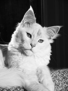 Maincoon cat Pretty Cats, Beautiful Cats, Crazy Cat Lady, Crazy Cats, Kittens Cutest, Cats And Kittens, Rare Albino Animals, Cat Toilet Training, Maine Coon Kittens