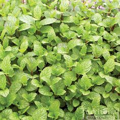 #herb - Mojito Mint.  Genuinely Cuban, this spectacular culinary herb provides the distinct, aromatic and complex taste to the celebrated beverage.