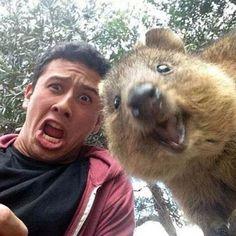 Quokkaselfie - die süßesten Selfies im Netz - Selfies kennt ja mittlerweile jeder oder hat sicher schon einmal eins gemacht. Wem das Selfie zu langweilig...