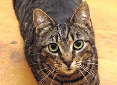 Ozzy-a-male-Tabby-looking-for-a-forever-home