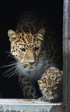 Amur leopard Kristen looks on as one her five-week-old cubs takes its first steps into their enclosure at Twycross Zoo in Leicestershire