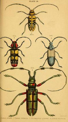 The natural history of beetles Edinburgh : Henry G. Bohn,1852